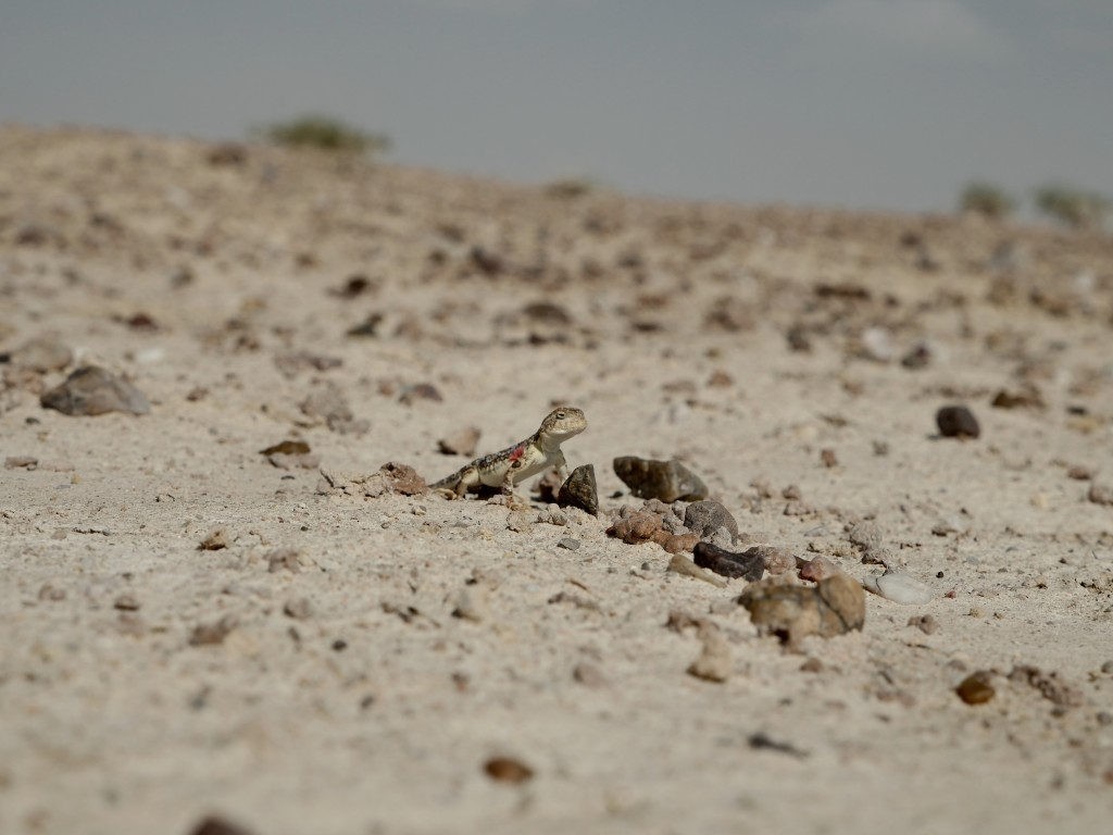 A lizard in the Gobi Desert